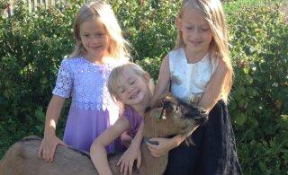 Perega maale elama: lehmalüps on võimalik Youtube'i abil selgeks õppida