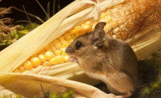 Kõhubakteritest sõltub inimese pikaealisus ja soodumus rasvumisele