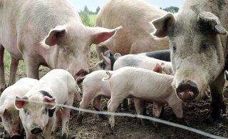 Народный календарь: 17 января — день почитания свиней