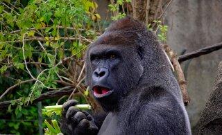 KURIOOSUM | Nigeeria loomaaia gorilla neelas tõenäoliselt alla hiiglasliku rahapataka