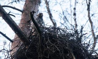 RMK lageraiest häiritud kanakullipere rajas uue kodu, kuid seegi kukkus koos poegadega alla