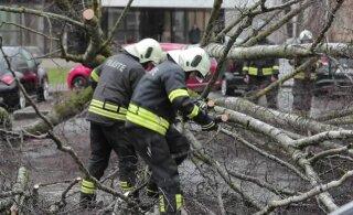 ФОТО И ВИДЕО | В Таллинне штормовой ветер повалил березу. Она едва не упала на автомобили