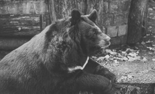 HÄIRIV VIDEO | Hädas karu kaebleb aia külge aheldatuna tsirkuse reklaami kõrval
