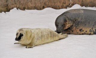ФОТО и ВИДЕО: Какая прелесть! В Таллиннском зоопарке родился белый тюлененок
