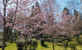 ФОТОНОВОСТЬ: В японском саду расцвела сакура