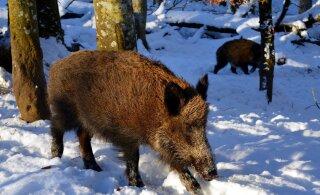 Eesti metsades on metssigu väheks jäänud