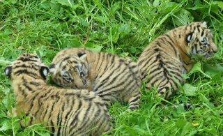 FOTOD | Tšehhi loomaaed tutvustas suuremale avalikkusele Tallinna loomaaia tiigri Pootsmani kutsikaid, selgus ka nende sugu