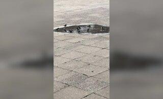 МИЛОЕ ВИДЕО: Птицы тоже люди! Смотрите, как в Тарту пернатые спасаются от жары
