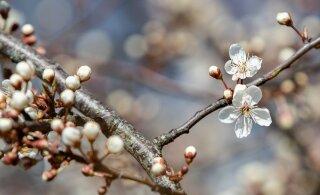 FOTOD | Täna on küll soe, kuid edasi läheb jälle külmaks! Sooja kevadet on oodata alles mai algusest