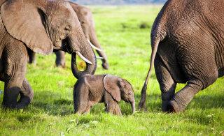 Täna on ülemaailmne elevantide päev | Loe, miks peaks igaüks keelduma elevandi seljas sõitmast