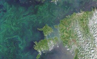 ФОТО: Со спутника видно обилие сине-зеленых водорослей в Балтийском море