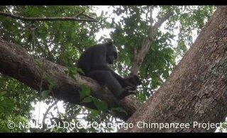VIDEO | Vaata, kuidas šimpans kilpkonna sööb