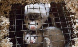 Norra paneb karusloomafarmide uksed kinni: loomakaitsjad nõuavad nüüd karusnaha impordikeeldu