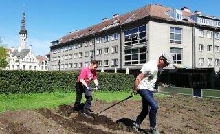 История с картофельным полем в самом сердце Таллинна продолжится в суде