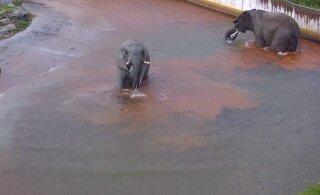 ВИДЕО: Слоны из Таллиннского зоопарка резвятся под проливным дождем