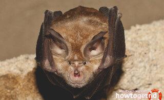 Genoomid kinnitavad: SARS-CoV-2 pärineb nahkhiirtelt