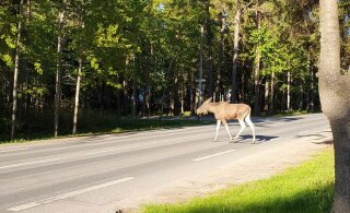 ВИДЕО | В Пирита у проезжей части видели двух лосей. Один из них не побоялся перейти через дорогу