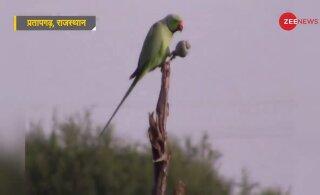 Opiaadisõltlastest papagoid külvavad hävingut India moonipõldudel