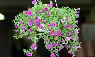 Lopsakate lillepottide saladus: neid nippe järgides teed kõik naabrid kadedaks