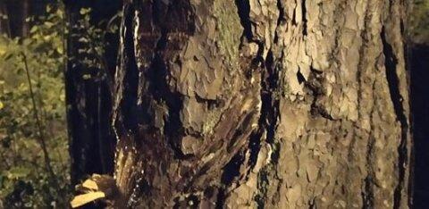 ФОТО   Житель Ласнамяэ рассмотрел в перелеске у реки Пирита лешего. А кого увидели вы?