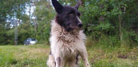 Зоозащитники хотят установить в Пыхья-Таллинне памятник легендарному бродячему псу Жорику