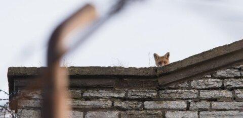 ФОТО | Лиса устроила на крыше Батарейной тюрьмы засаду