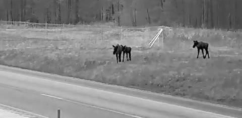 ВИДЕО | Департамент предупреждает: на новом отрезке шоссе Таллинн-Тарту много лосей