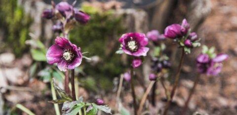 FOTOD | Talv Eesti moodi: lähipäevade ilma iseloomustavad keset jaanuari tärganud kevadlilled