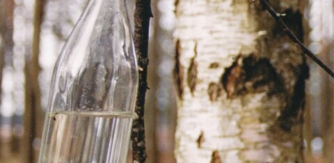 Kasemahl on tervisele äärmiselt kasulik! Millal ja kuidas seda koguda?
