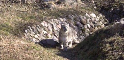 VIDEO | Loomaaia lumeleopard Otto III lubati külastajate ette patseerima