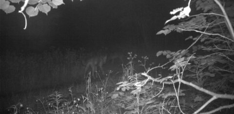 """Агентство окружающей среды о пропавшем волке: этот регион стал в последние годы """"аномальным"""""""