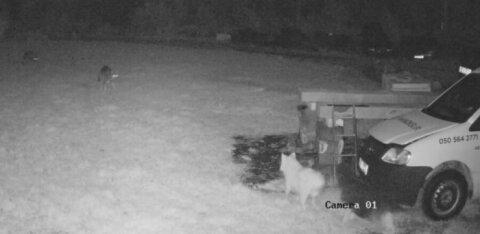 ФОТО И ВИДЕО | Волки становятся наглее и не боятся людей: трое хищников заявились во двор жилого дома