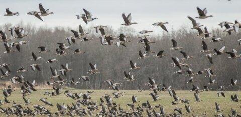 Keskkonnaagentuur soovitab laiendada hanede kevadist heidutusjahti kogu Eestile