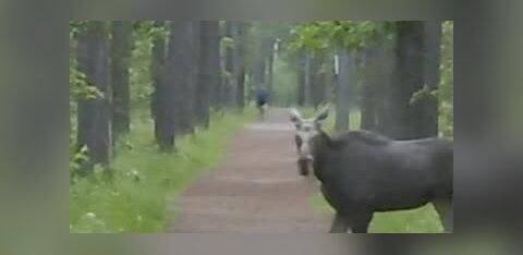 ВИДЕО | Молодой лось гулял по Пирита!