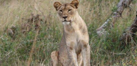 ВИДЕО | Бездомная собака подралась с львицей, удивленной такой наглостью