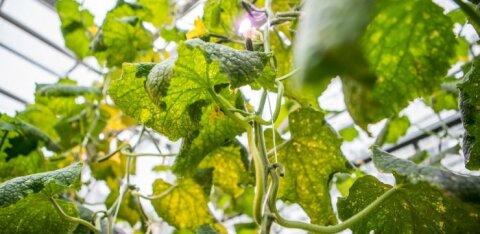 Вводятся ограничения на ввоз в Эстонию из России растений, фруктов, овощей, ягод и семян