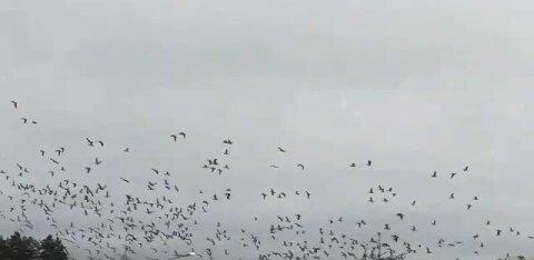 VIDEO | Kohvrid pakitud: suur haneparv pakub enne lõunamaale minekut põneva vaatepilti