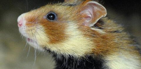 """Общество защиты животных ищет нерадивого владельца хомяков, """"забывшего"""" в лесу Нымме две клетки"""