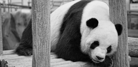 ВИДЕО | На камеру удалось запечатлеть единственную в мире панду-альбиноса