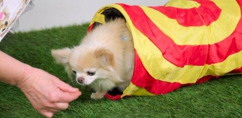 """VIDEO   Õpeta oma koerale üks trikk: käsklus """"tunnel"""""""