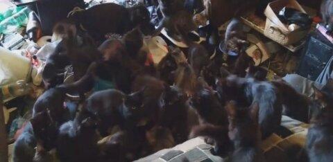 ВИДЕО: В Ида-Вирумаа женщина содержит в крошечной квартире более 30 кошек