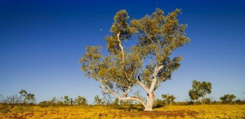 В Австралии срубили священный эвкалипт, которому поклонялись аборигены