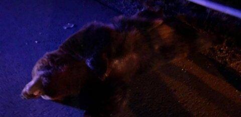 ФОТО | На шоссе Таллинн-Тарту под колесами автомобилей погиб медведь