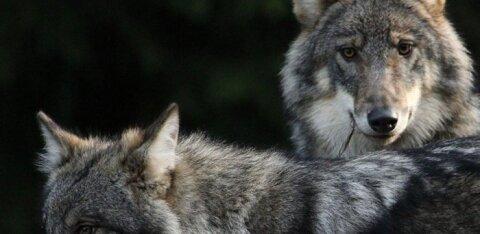 ВИДЕО: В Ляэнемаа по дороге бегал волк