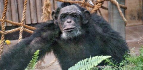ФОТО | Шимпанзе таллиннского зоопарка создали несколько произведений после творческого кризиса