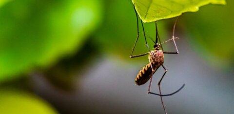 Комары спасут человечество от коронавируса?