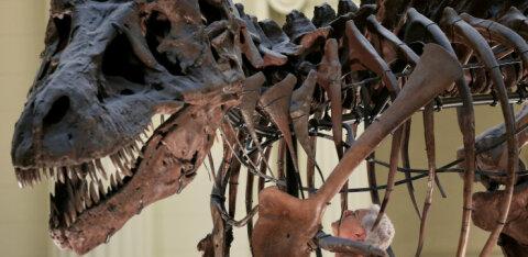 Türannosauruse fossiil pandi ligi kolme miljoni dollari eest müüki, teadlased on pahased