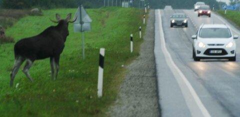 В Харьюском уезде лось спровоцировал ДТП: женщина в больнице