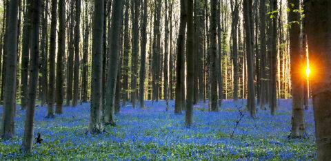 ФОТО. Бельгийское чудо: лес колокольчиков
