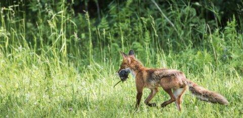 Лисицы пришли, чтобы остаться! Жителей Тарту пугает наглость животных